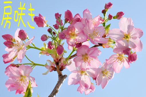房で咲くとこがサクラらしーです。