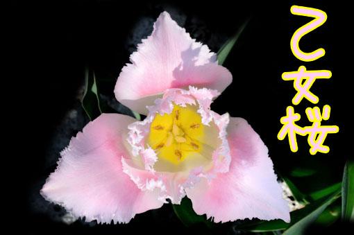 Tulipa ' Otomezakura '