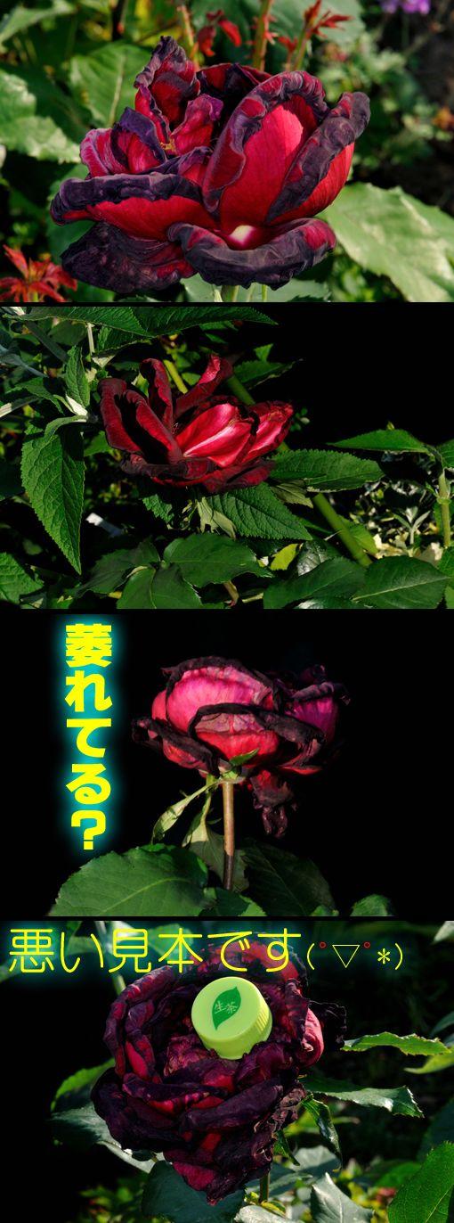 バラ ' パパ・メイアン ' (Rosa ' Papa Meilland ')