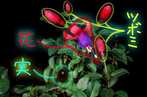アカネ科植物です。
