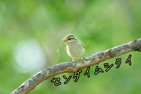 センダイムシクイ(仙台虫喰)