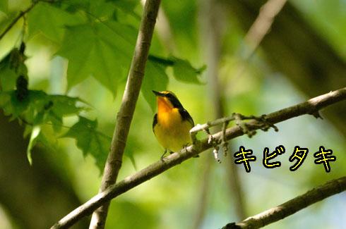 キビタキ(黄鶲)