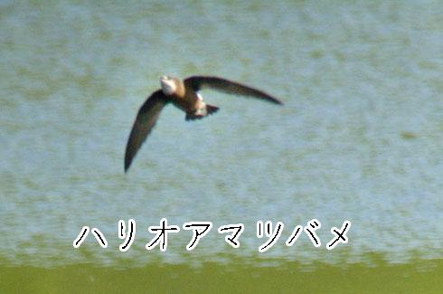 ハリオアマツバメ(針尾雨燕)
