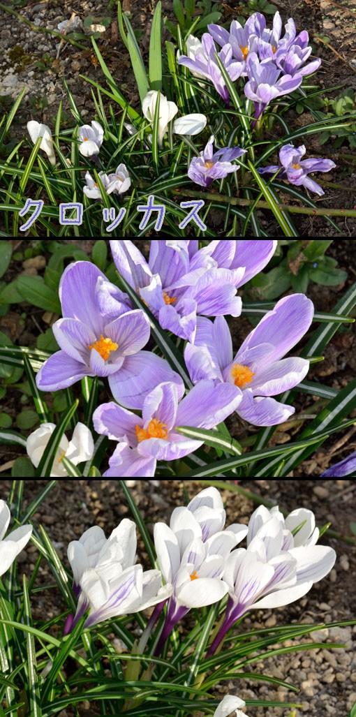 クロッカス(アヤメ科 Crocus)