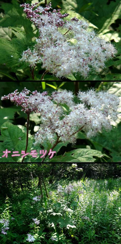 オニシモツケ(鬼下野)