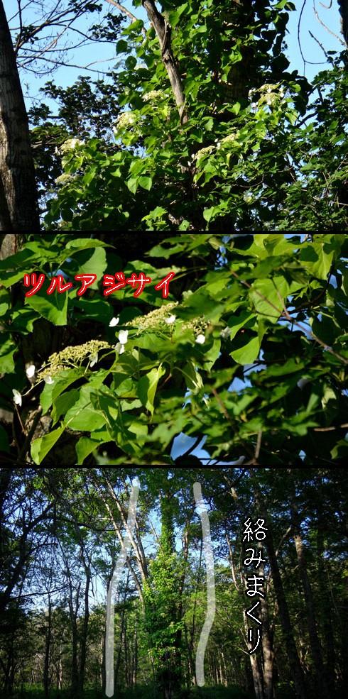 ツルアジサイ(蔓紫陽花)