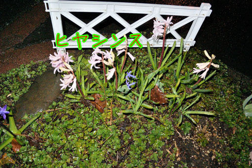 ヒヤシンス(Hyacinthus)