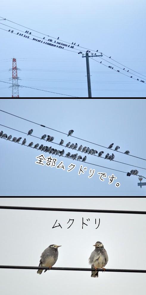 ムクドリ(椋鳥)