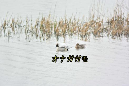 オナガガモ(尾長鴨)