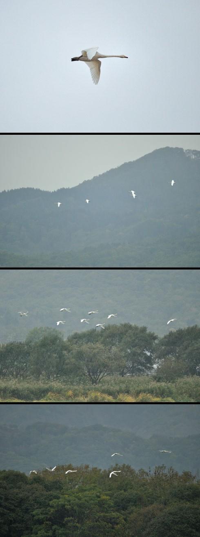 群れ飛ぶオオハクチョウ