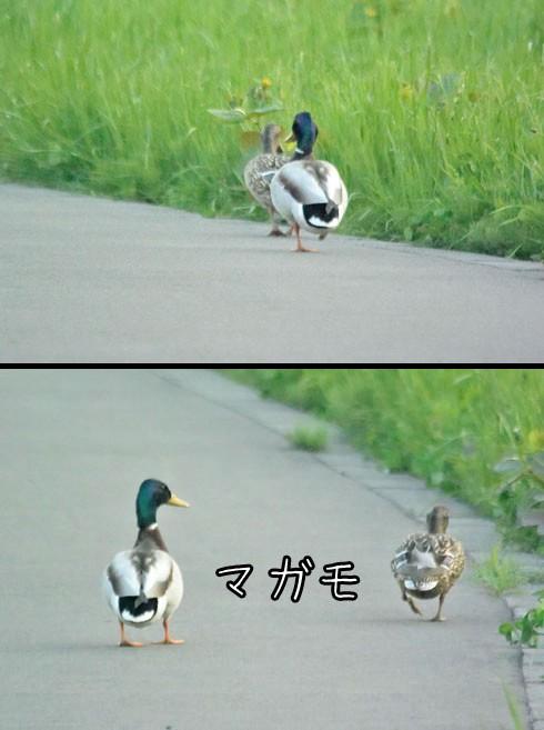 マガモ(真鴨)
