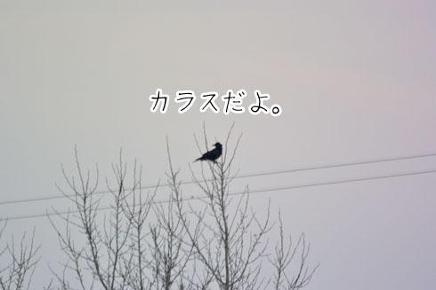 撮らなくても良い野鳥です。