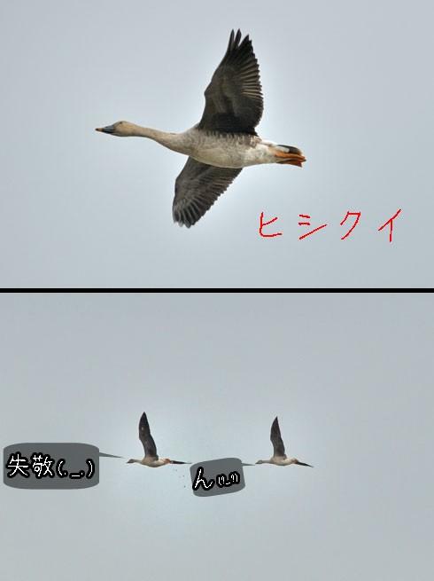 ヒシクイ(菱喰)