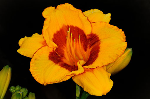 Hemerocallis ' Brookwood Lee Causey '