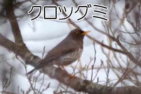 クロツグミ(黒鶫)
