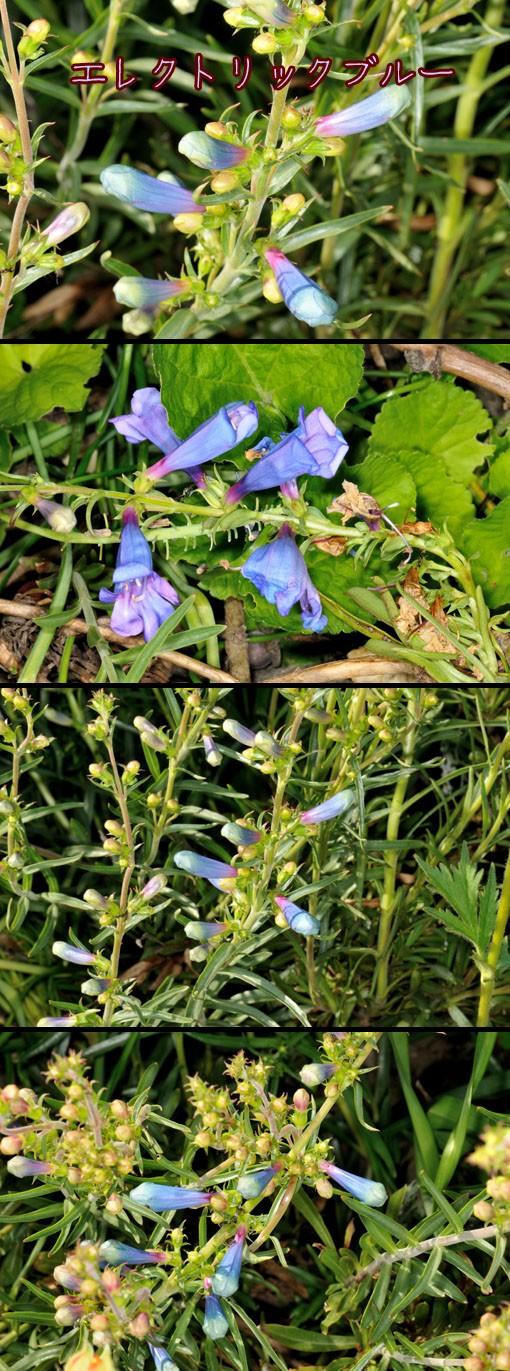 ペンステモン ' エレクトリック・ブルー ' (Penstemon heterophyllus 'Electric Blue' )