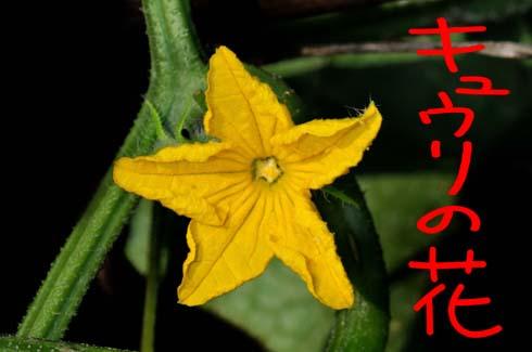 キュウリの花です。