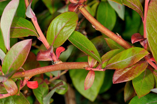 花期直後以外の枝払いは慎重に。