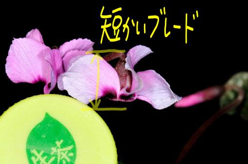 反り返る花弁は短いです。
