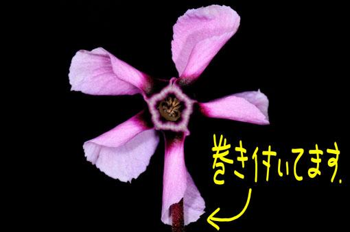 花茎に花弁が纏わり付いてます。