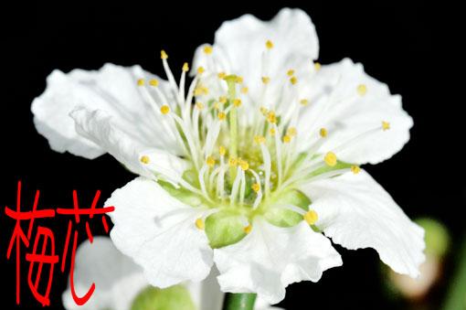 文字通りの梅芯咲きです。