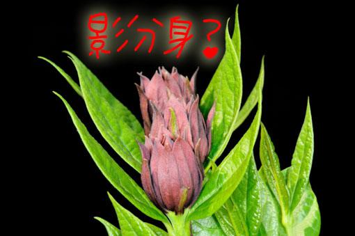 花が4連です。