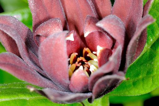 花糸がエンレイソウちっくです。