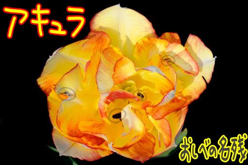 Tulipa ' Aquilla '