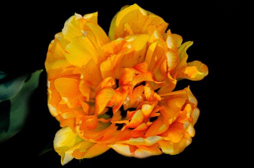 Tulipa ' Sun Lover '
