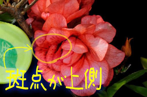 花弁に斑点有り。