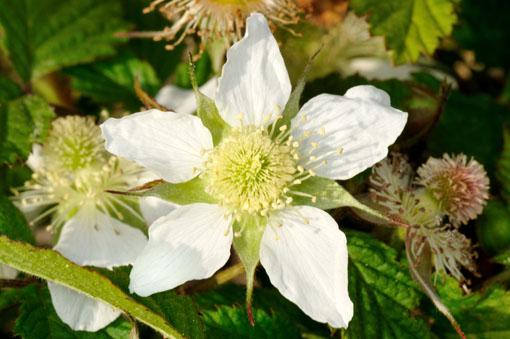 Rubus ' Puti Ruby '