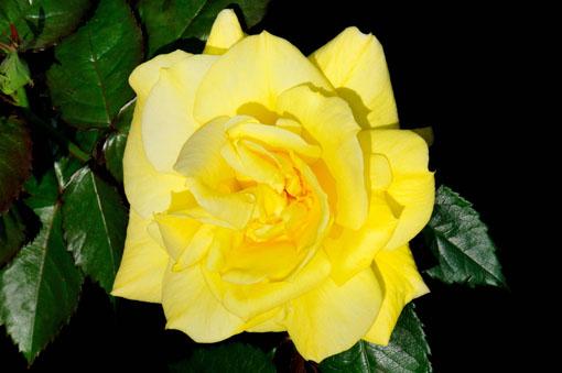 Rosa ' Friesia '