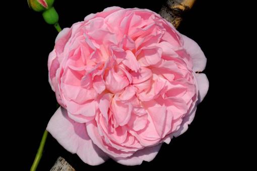 Rosa ' Strawberry Hill '