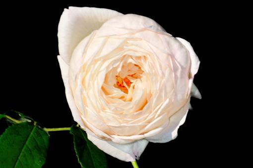 Rosa ' Claire Austin '