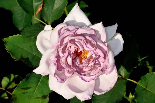 Rosa ' New Wave '