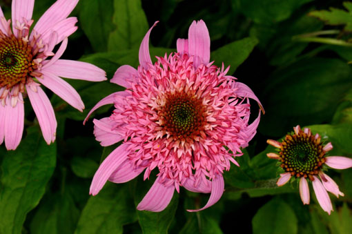 Echinacea purpurea ' Pink Double Delight '