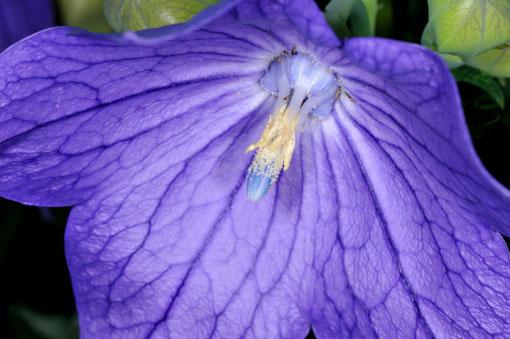 雄しべは熟して花粉を噴いてますケロ、雌しべの先はまだ閉じてます。