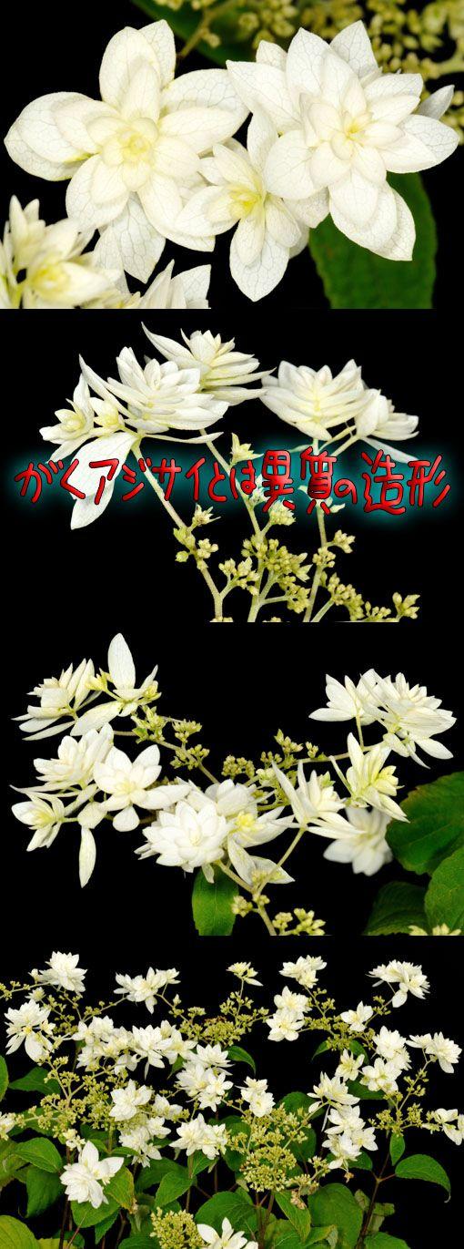 Hydrangea arborescens ' Hayes Starburst '