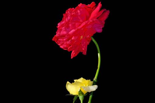 どちらも負けず劣らず素晴らしいバラです。