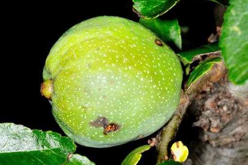 ボケの果実です。