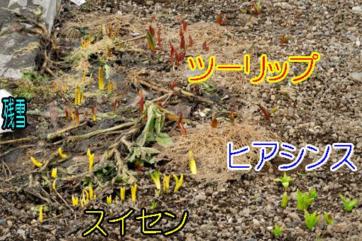 寄せ植えっぽくなってますが、真ん中に横たわってるんはカレンヂュラです。