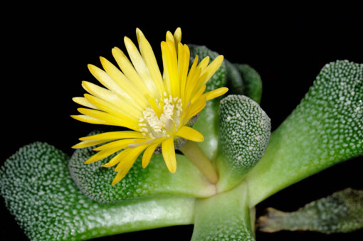 菊みたいな花っつーか、放射状の花ってだけです。