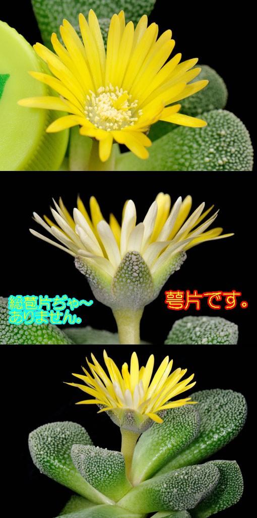 デイジーくらいの花のサイズです。