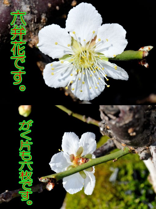 均整の取れた六弁花です。