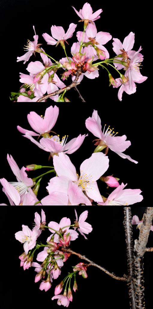 樹肌が本格的な桜っぽいでしょー。