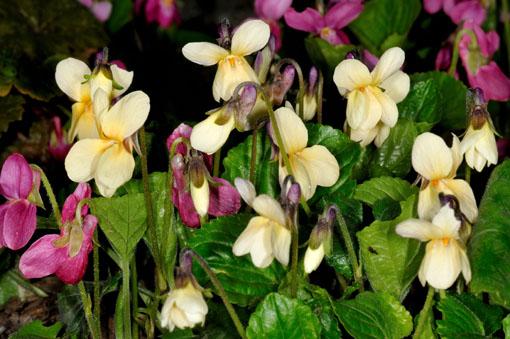 黄花のニオイスミレ