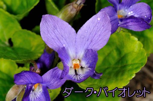 Viola odorata ' Dark Violet '