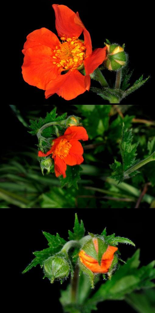 花付きはソコソコです。