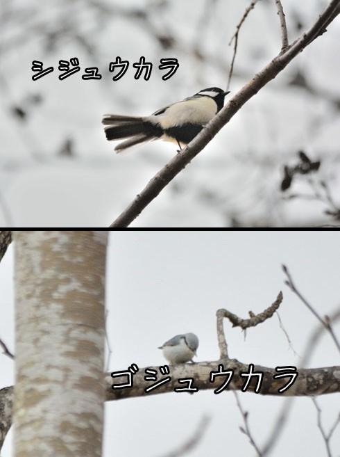 シジュウカラ(四十雀)とゴジュウカラ(五十雀)
