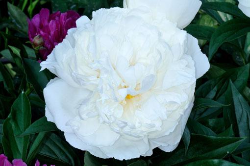 Paeonia lactiflora ' Crystal Beauty '